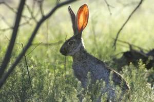 Conejo escuchando